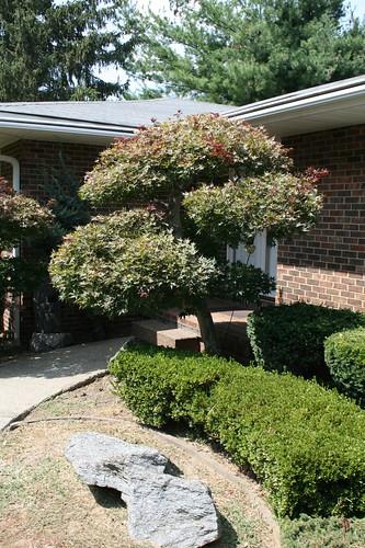 tree maple landscaping