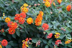 annual plant, flower, plant, herb, flora, lantana camara,