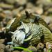 Sun Snail