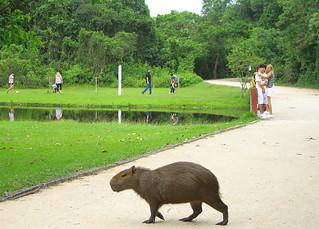 Capivara - Bosque da Barra - Rio de Janeiro - Brasil