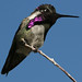 Costa's Hummingbird - Photo (c) Jean-Guy Dallaire, some rights reserved (CC BY-NC-ND)