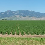 Idaho Potatoes Growing in the Field