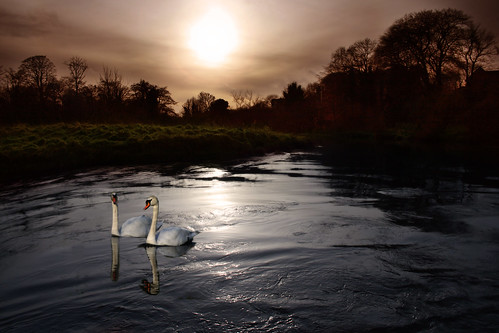 Night Lagan swans