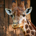 IMG_6874 - girafe portrait by re_lepage