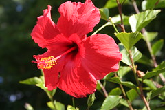 shrub(0.0), rosa chinensis(0.0), annual plant(1.0), flower(1.0), red(1.0), plant(1.0), malvales(1.0), macro photography(1.0), flora(1.0), chinese hibiscus(1.0), petal(1.0),