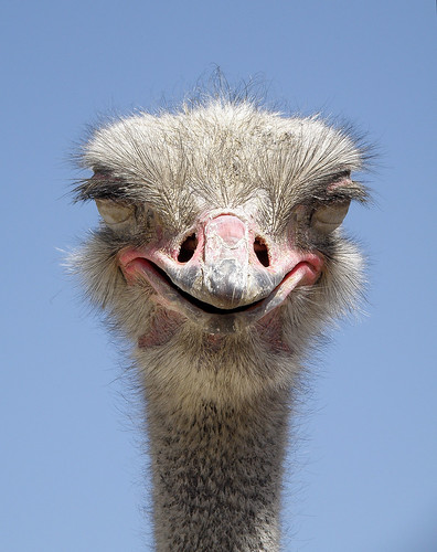 The ostrich, Struthio camelus, is native to Africa and is the largest birds in the world.