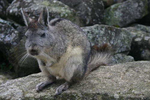 Northern Viscacha (Lagidium peruanum)