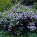 Small photo of Blue shrub