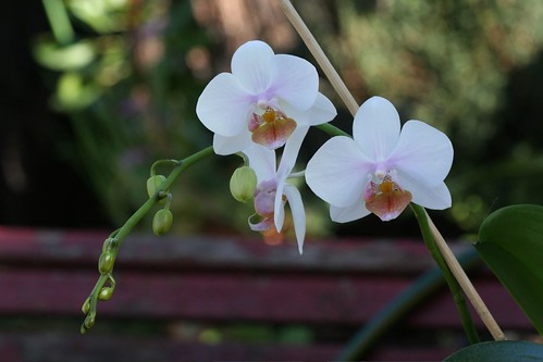 Phalaenopsis Nancy Am x equestris