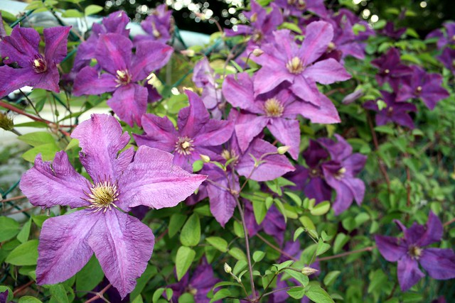 viticella clematis 39 polish spirit 39 flickr photo sharing. Black Bedroom Furniture Sets. Home Design Ideas