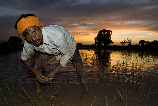 Indian Farmer Transplanting Rice Seedlings at Sunset