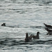 Small photo of Rhinocerous Auklet and Heermann's Gulls