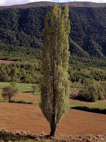 tree landscape poplar arbres catalunya arbre montsec arboreal populusnigra prepirineu pollancre vftw montsecderúbies mmmilikeit santmiqueldelavall isiplou