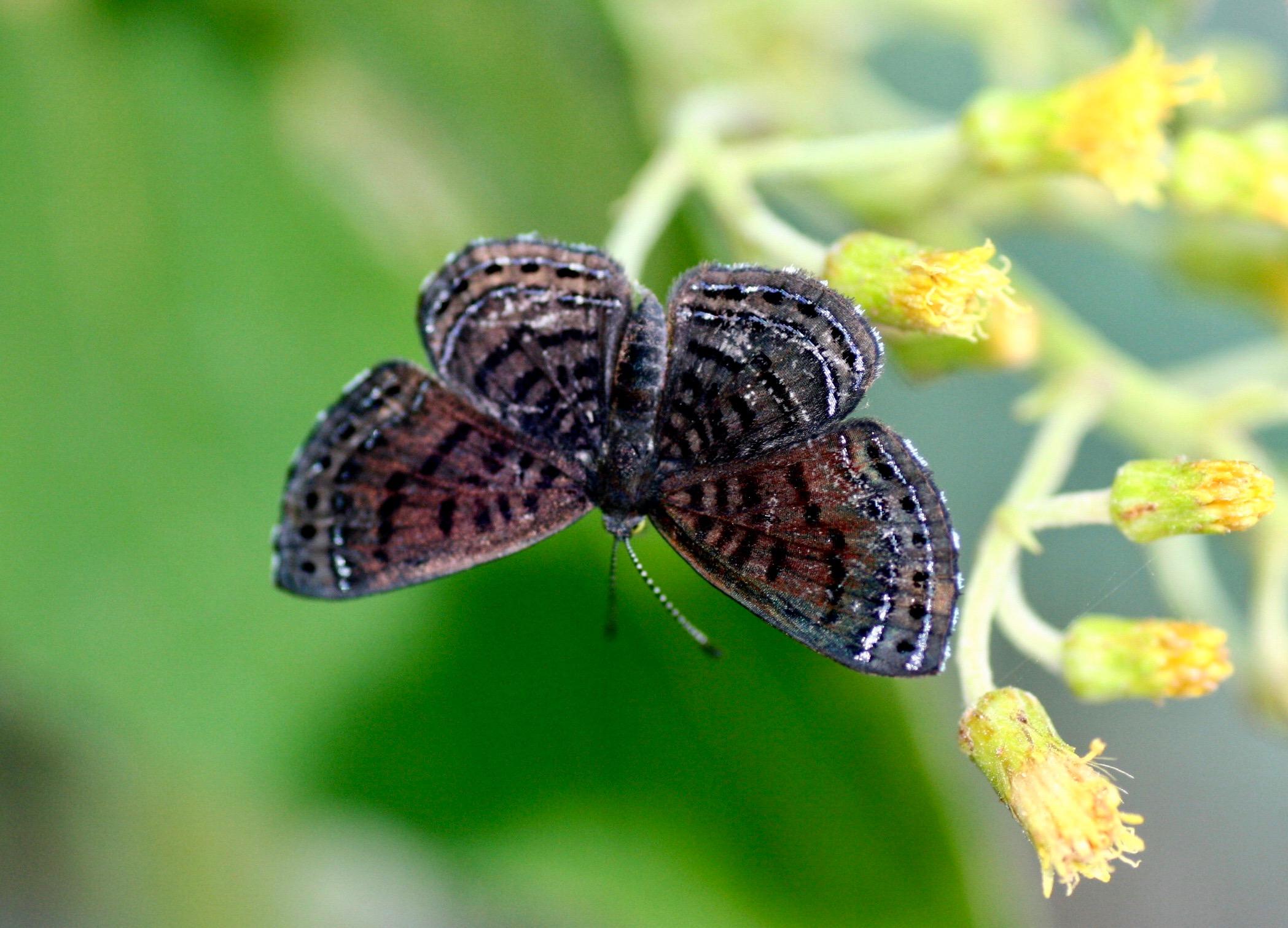 Calephelis aymaran (Riodinidae: Riodininae: Riodinini)
