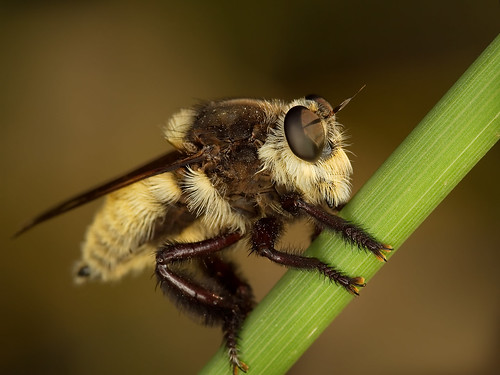 macro robberfly ringflash blueribbonwinner roundrocktexas canonef100mmf28usmmacro brushycreek canoneos30d abigfave beekiller excapturemacro motleypixel alemdagqualityonlyclub spectacularmacro notyournormalbug royniswanger