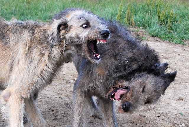 Irish Wolfhound Wolf Mix