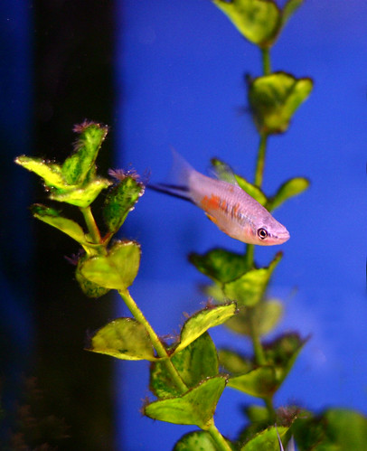 Blue Swordtail