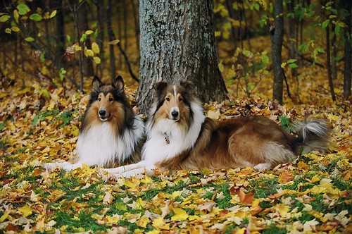 My Boys! Kody & Zack, Rough Collies