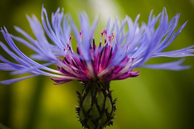 fleur de bleuet flickr photo sharing. Black Bedroom Furniture Sets. Home Design Ideas