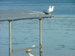 Two gulls on a late afternoon date
