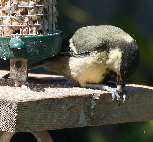 Young Great Tit with Peanut