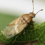 közönséges rétibodobács - Cymus claviculus