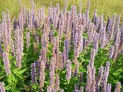 shrub(0.0), foxtail lily(0.0), hyssopus(1.0), annual plant(1.0), flower(1.0), english lavender(1.0), plant(1.0), lavender(1.0), wildflower(1.0), flora(1.0),