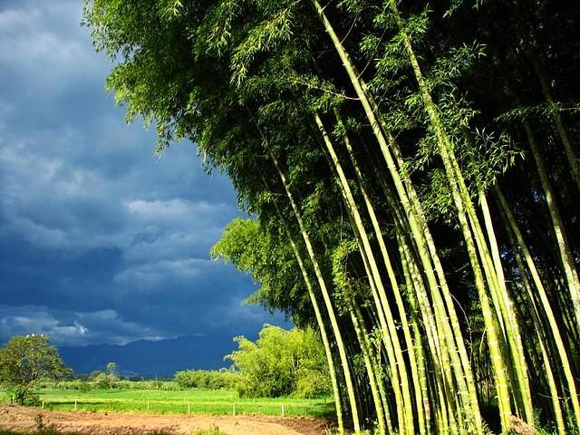 Imagen de un Bosque de Guadua en La Tebaida, Quindio