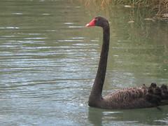 animal, black swan, water bird, swan, wing, fauna, beak, bird, wildlife,