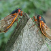 Periodical Cicadas - Photo (c) JanetandPhil, some rights reserved (CC BY-NC-ND)