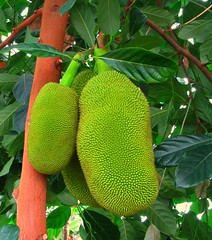 breadfruit(0.0), flower(0.0), plant(0.0), produce(0.0), food(0.0), green(1.0), artocarpus(1.0), fruit(1.0), jackfruit(1.0),