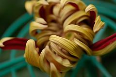 Chrysanthemum 2008