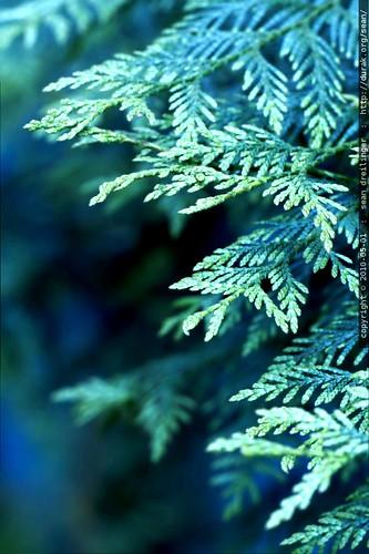 young cedar