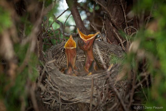 Merle d'Amérique - Turdus migratorius - American Robin