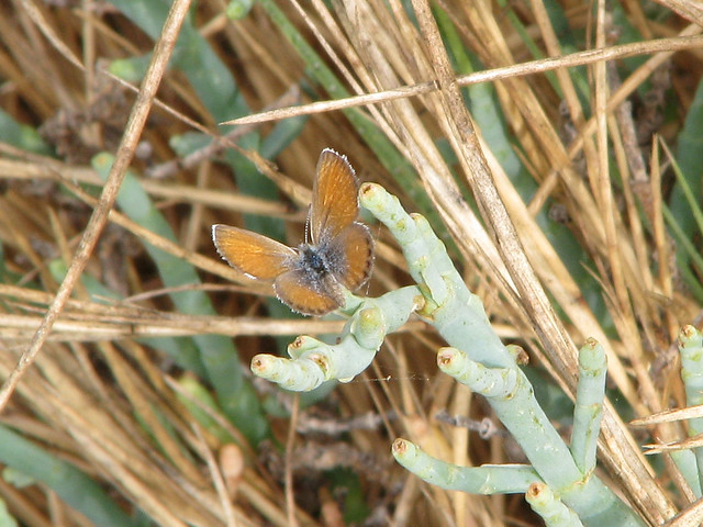 Western pygmy blue butterfly - photo#20