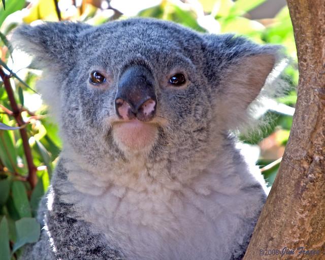 Queensland Koala | Fli...