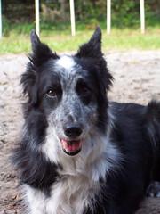 border collie(0.0), lapponian herder(0.0), tervuren(0.0), bohemian shepherd(0.0), collie(0.0), shiloh shepherd dog(0.0), dog breed(1.0), animal(1.0), dog(1.0), vulnerable native breeds(1.0), carnivoran(1.0),