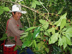 Mexican coffee farmer at work in the fields