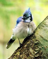 branch(0.0), chickadee(0.0), crow-like bird(0.0), animal(1.0), wing(1.0), fauna(1.0), finch(1.0), blue jay(1.0), beak(1.0), bird(1.0), wildlife(1.0),