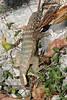 "<a href=""http://www.flickr.com/photos/arthur_chapman/3037547308/"">Photo of Leiocephalus carinatus by Arthur Chapman</a>"