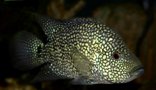 Texas Cichlid - Herichthys cyanoguttatus The Texas cichlid ...