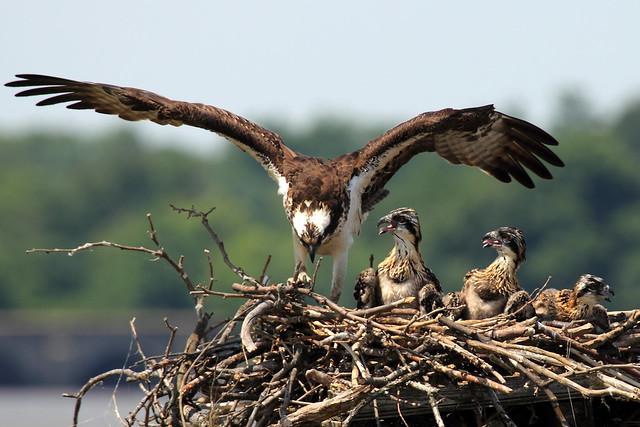 Águila pescadora con sus polluelos, Virginia, Estados Unidos