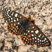 Variable Checkerspot - Photo (c) Patrick Dockens, some rights reserved (CC BY-NC-ND)