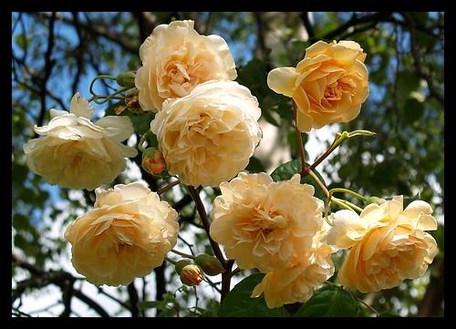 Rose 'Buff Beauty'