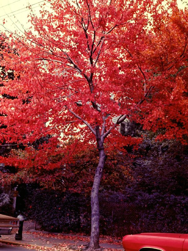 Fall Tree Kodachrome 1978