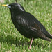 Spotless Starling - Photo (c) Michael Rosenberg, some rights reserved (CC BY-NC)