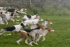 saluki(0.0), english foxhound(0.0), sports(0.0), dog sports(1.0), animal sports(1.0), animal(1.0), hound(1.0), harrier(1.0), dog(1.0), mammal(1.0), ibizan hound(1.0), hunting dog(1.0),