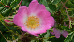 blossom(0.0), shrub(0.0), garden roses(0.0), camellia sasanqua(0.0), floribunda(0.0), rosa rugosa(0.0), flower(1.0), rosa gallica(1.0), plant(1.0), rosa rubiginosa(1.0), macro photography(1.0), rosa canina(1.0), flora(1.0), rosa acicularis(1.0), rosa pimpinellifolia(1.0), petal(1.0),
