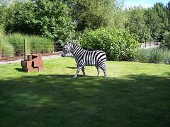 grass, zoo, zebra, mammal, pasture,