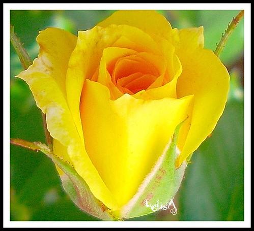Tea Rose Bud for Debbie